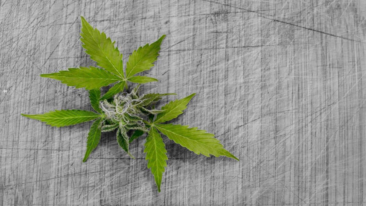 撼動!製造二級毒品大麻遭拘捕,刑事律師緊急陪偵奮力爭取,成功交保!